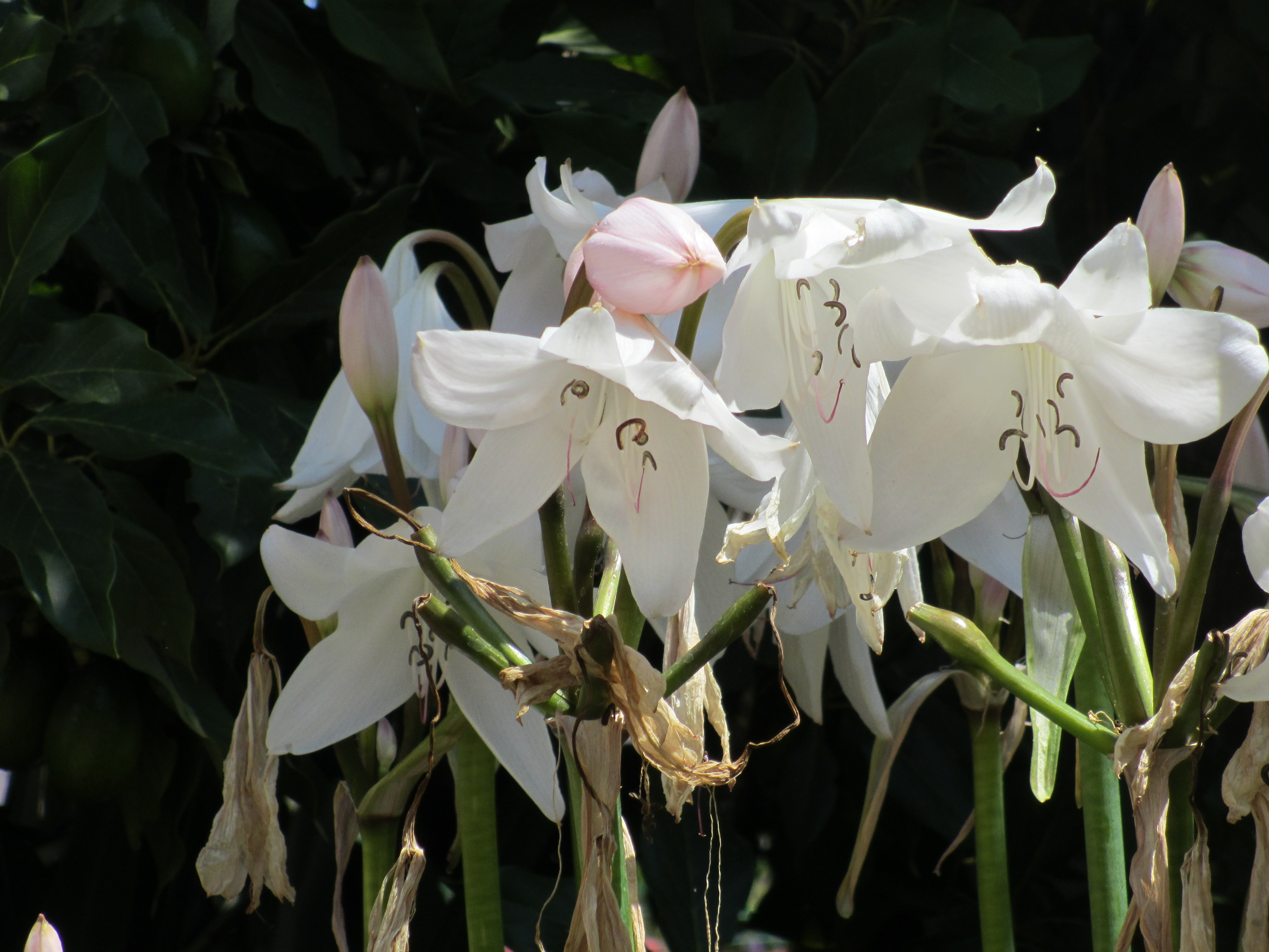 chilean lily