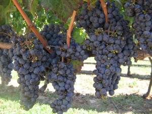 chilean vineyard grapes