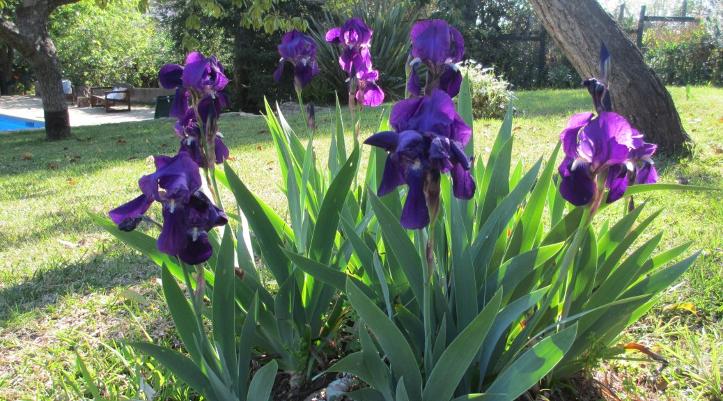 chile quinta escondida spring irises