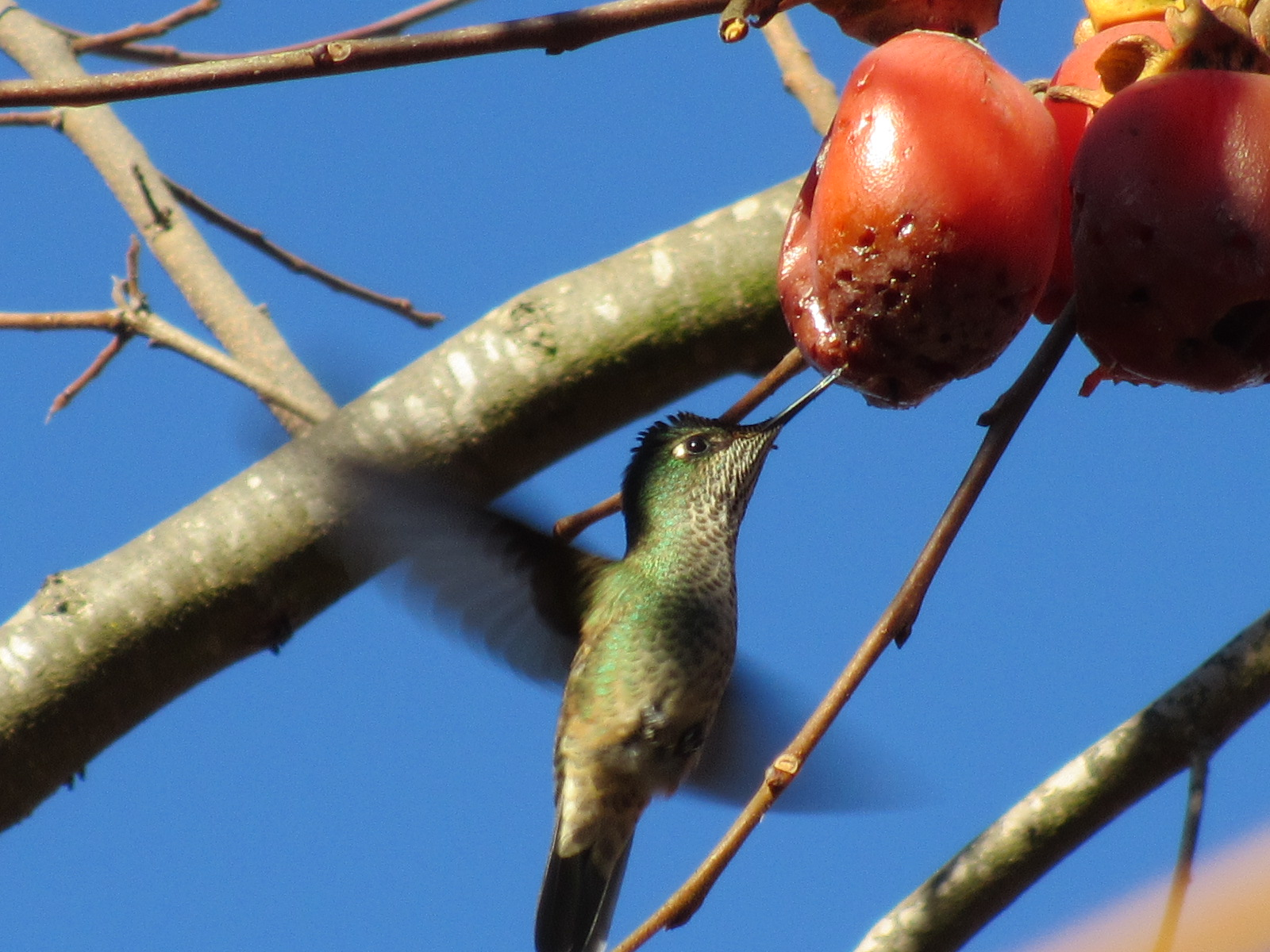 chilean hummingbird eating persimmon fruit
