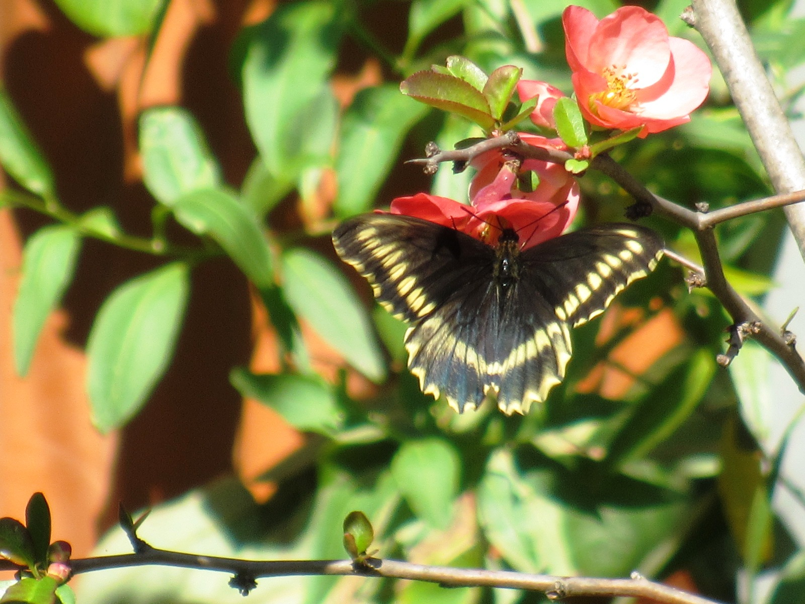 spring butterfly at the Quinta